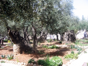 324 - Olive trees at Garden of Gesthemane