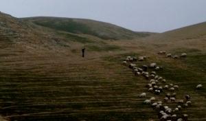Sheep on Hillside (Jericho)